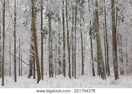 Winter Landscape Of Natural Forest With Birch And Hornbeam Trees Snow Wrapped, Bialowieza Forest, Po