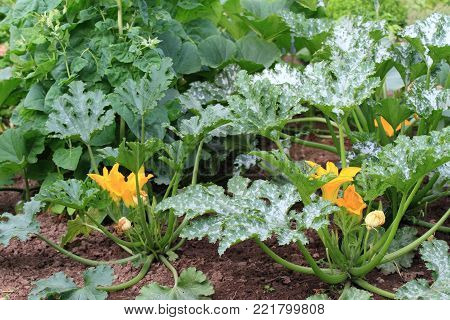 Organic permaculture  garden.  Zucchini in bloom, vegetable marrow and spinach at back  growing and supporting each other