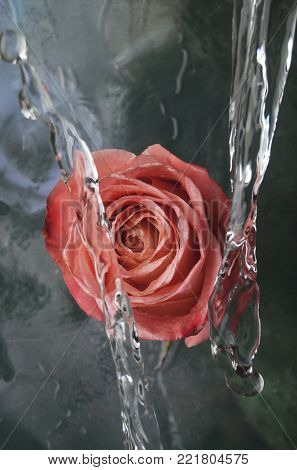 Pink rose flower in water splashes on green watery background