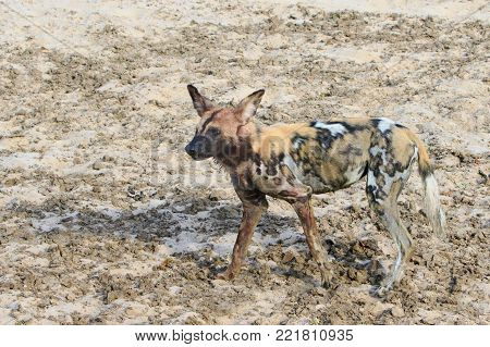 A Lone African Wild Dog also known as a Painted Dog - Latin Name Lycaon Pictus, walking across the dry arid avannah in South Luangwa National Park, Zambia, Southern Africa