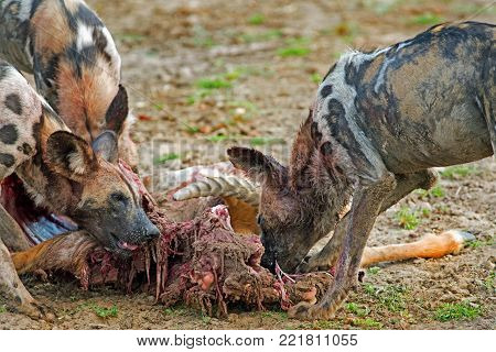 African Wild Dogs  (Lycaon pictus) devouring a recent Puku kill in South Luangwa National Park, Zambia, Southern Africa