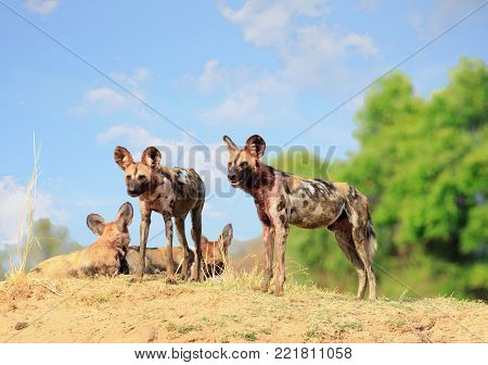 Wild Dogs - Lycaon Pictus - watching and looking alert while standing on a sandbank in South Luangwa National Park, Zambia