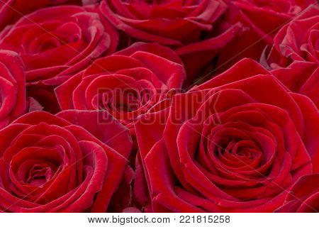 Closeup of a fresh red rose. Big bunch of red roses. Rose flower pattern