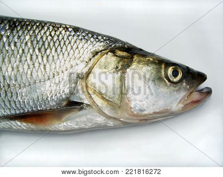 The asp (Leuciscus aspius) is a European freshwater fish, close-up of head