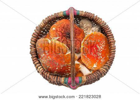 Basket with Amanita muscaria mushrooms. Orange toadstools. Isolated poison