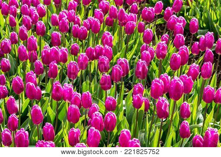 Close view on the colorful tulip field