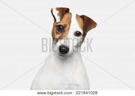 Cute Portrait of Jack Russel Terrier Dog bowed his head on Isolated White Background