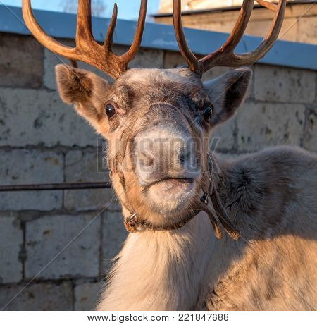 Portrait of a reindeer. The deer looks at the photographer. The reindeer is a small animal. There are horns on the head of deer.