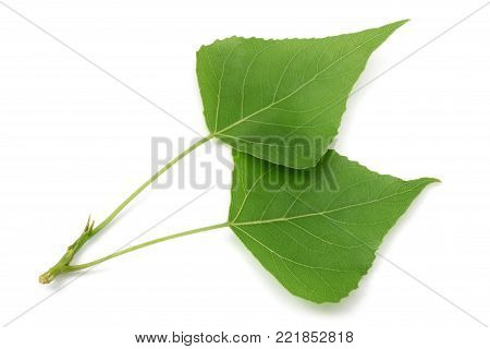 Green poplar leaves  isolated on white background