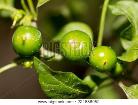 green pepper in the garden . In the park in nature