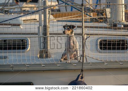 Cute dog on board luxury yacht deck Little doggy on a sailing boat, looking through safety net