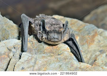 A close up of the small bat on stone.