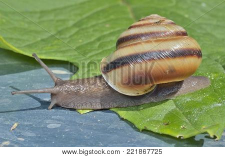 A close up of the small snail.
