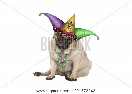 cute grumpy Mardi gras carnival  pug puppy dog sitting down with harlequin jester hat, isolated on white background