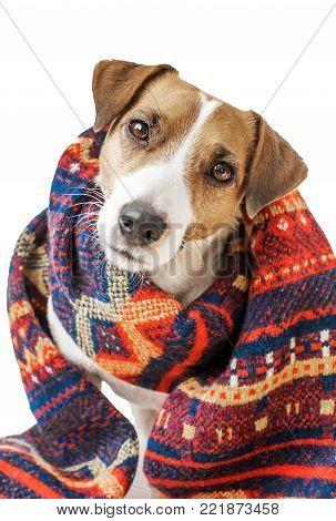 A portrait of cute small sitting dog Jack Russell Terrier dressed in Colorful Norwegian traditional knitted scarf isolated on white background. Fashionable winter unisex accessory