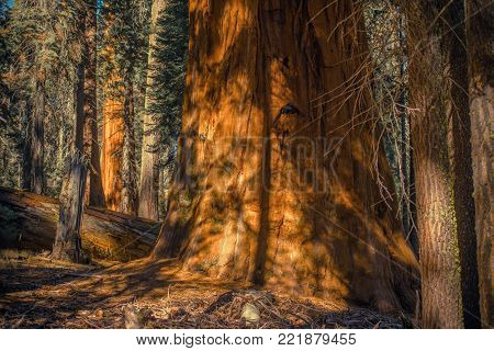 Sierra Nevada Giant Ancient Forest. Giant Sequoia Tree Closeup Photo. California Sequoia   and King Canyon National Parks. United States.