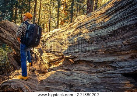 Sequoias National Park Hiker. Caucasian Men with Large Backpack on the Sierra Nevada Trailhead in California, United States of America. Taking Sun While Staying on the Fallen Giant Redwood Sequoia Tree.