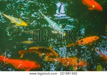 Color image taken 21 SEPT 2017 of Koi in a Koi pond located in Baguio City, Philippines