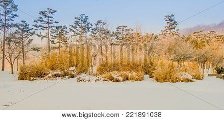 Winter landscape of tall golden colored bushes in a public park covered with snow with tall evergreen trees in the background under an overcast sky.