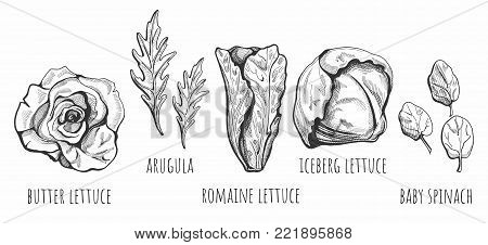 Vector illustration of a hand drawn lettuce types: butter, romaine, iceberg, baby spinach, arugula salads with labels. Vintage style