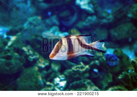 Exotic tropical Devil firefish, or common lionfish -Pterois miles- in aquarium.