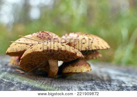 Orange wild mushrooms Armillaria grow on a stump in deciduous forest. Mushrooms on wooden background. Group of beautiful mushrooms.Side view at eye level.