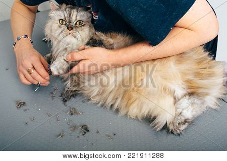 longhair cat in the grooming salon, groomer using scissors and cutting fur on the cats paw. Haircut cat, care for a cat's fur poster