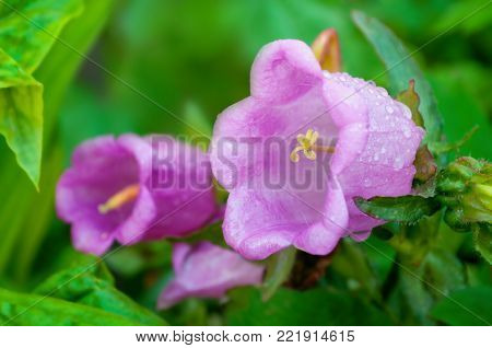 Spring bell flower medium in spring blossom, in Latin Campanula medium. Selective soft focus at the central bell flower. Spring flower background with spring bell flower in the spring garden. Closeup of spring bell flower