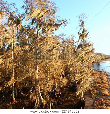 Spanish Moss sway in the wind in Florida