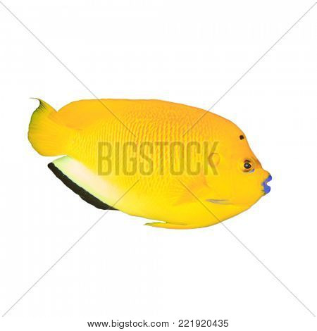 Three-spot Angelfish tropical reef fish isolated on white background