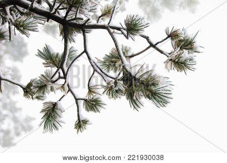 Sticky wet snow clinging to ponderosa pine trigs