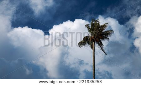 A lone windswept wax palm stands majestically against a breezy clouded background.