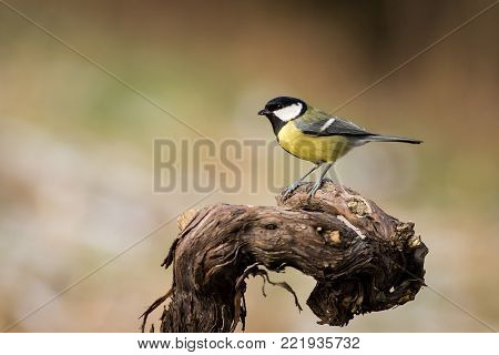 Great Tit, Parus major, black and yellow songbird sitting on the nice lichen tree branch, Czech. Bird in nature. Songbird in the nature habitat. Cute blue and yellow songbird in winter scene,  Wildlife scene from snowy nature