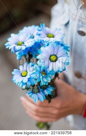 Female Hands Holding Bouquet Of Blue Chrysanthemums