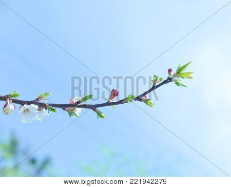 Single twig with green buds and first spring flowers against the blue sky (shallow DOF, selective focus)