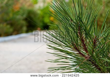 Green branch of a coniferous tree on a background of sand close-up, fir, pine, bright summer sunny day, a path of sand