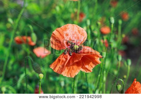 Papaver rhoeas, common, corn, Flanders, red poppy, corn rose, field is flowering plant poppy family Papaveraceae. Bees collect pollen from Papaver rhoeas. Honey plants Ukraine.