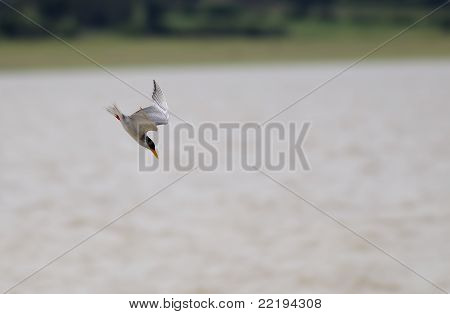 River Tern diving into a river to catch fish poster