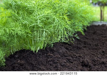 Antioxidant kitchen herbs on the eco farm garden bed. Selective soft focus. Photo of dill harvest for eco cookery business. Young dill plants on the kitchen garden. Organic food, fresh spice on soil