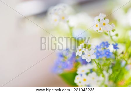 White and blue forget-me-not flowers. Spring blurred background.