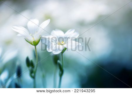 Close-up two beautiful white flowers on daylight blurred background. Vibrant spring outdoor blossom. Empty space. Gypsophila repens 'Filou White'