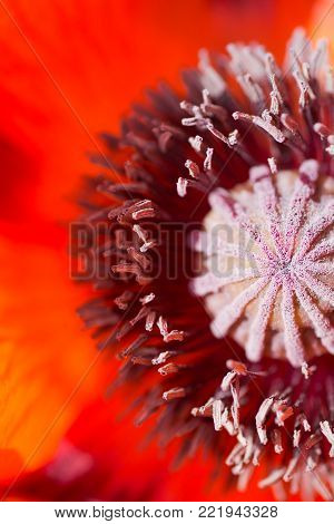 Closeup macro red poppy flower. Detailed natural photo.