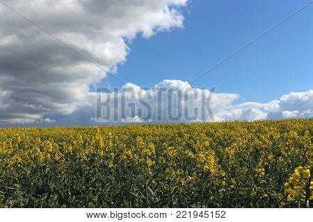 Field of yellow flowering oil seed rape (Brassica napus) crop in the foreground. Blue sky with white and grey clouds in the background.