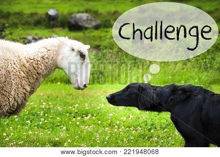 Dog Meets Sheep With Speech Balloon. English Text Challenge. Green Grass Meadow In Norway.