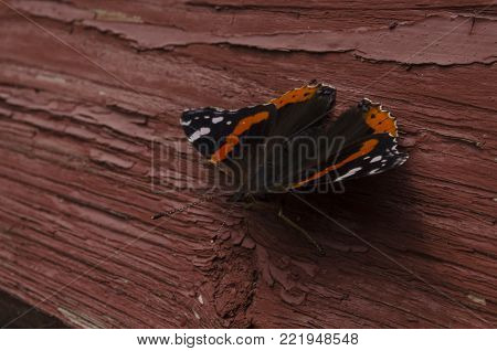 Vanessa atalanta, red admiral or admirable butterfly, sitting. close up macro.
