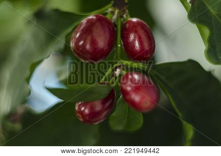 red coffee beans berries ripening on a tree. macro close up.