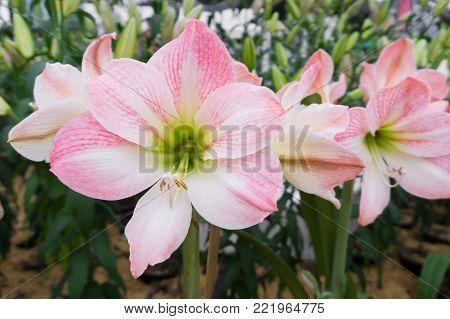 Amaryllis or Hippeastrum flower booming in Garden Outdoor