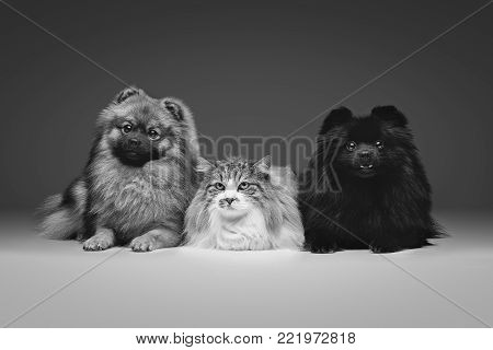 two beautiful spitz dogs and cat on grey background. happy faces. Studio shot on dark background.