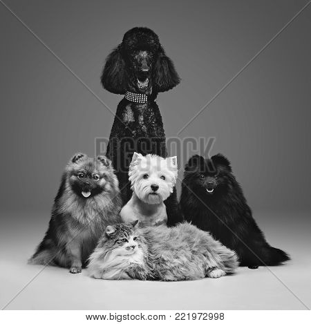 two beautiful spitz dogs, poodle and cat on grey background. happy faces. Studio shot on dark background.