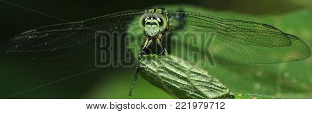 Closeup of the dragonfly sitting on the green leaf